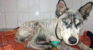 Спасение собаки, погибающей в яме с битумом