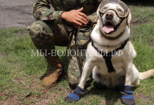 Фрида — собака-спасатель обнаружила под завалами 52 человекаво время землетрясения в Мексике