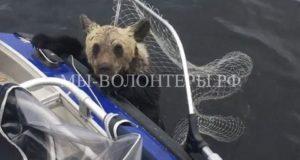 В Карелии рыбаки спасли тонущего медвежонка