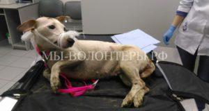 Жители Твери спасли собаку, сбитую на дороге неизвестным водителем