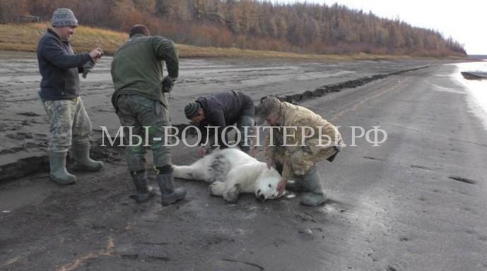 Спасенного в Якутии белого медвежонка передадут в Московский зоопарк