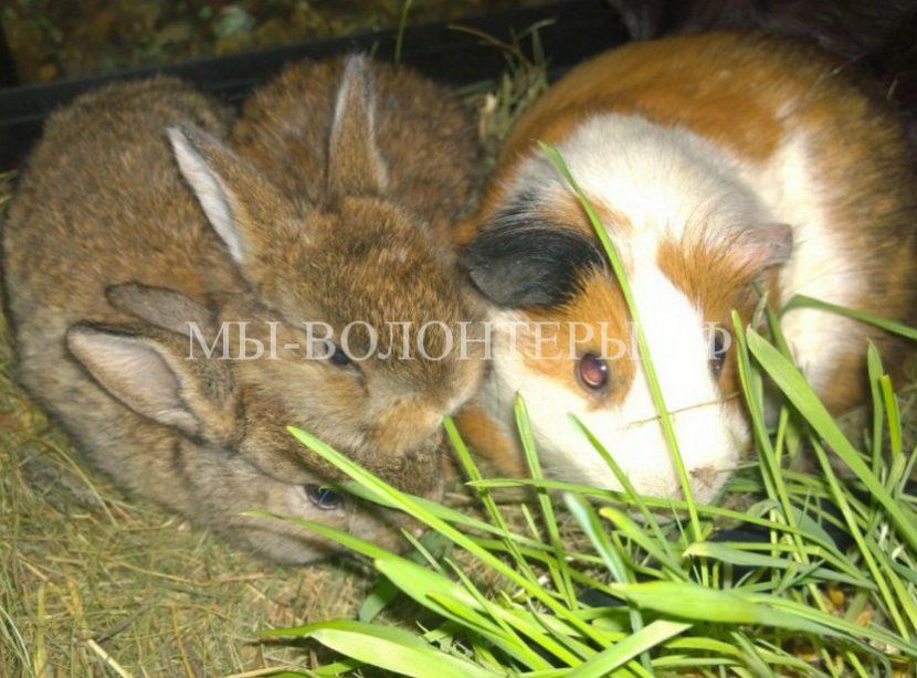 Морские свинки выкормили брошенных крольчат