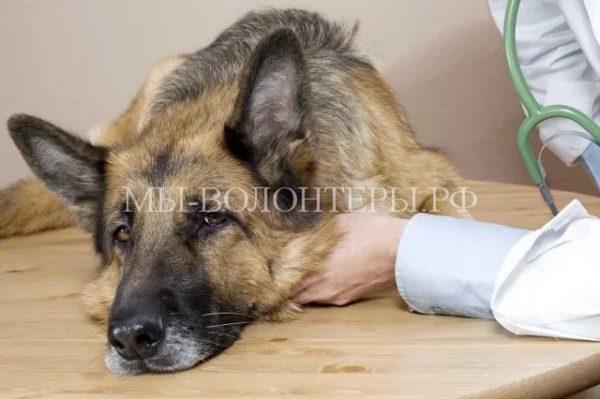 Укрепление иммунитета собаки перед зимними холодами