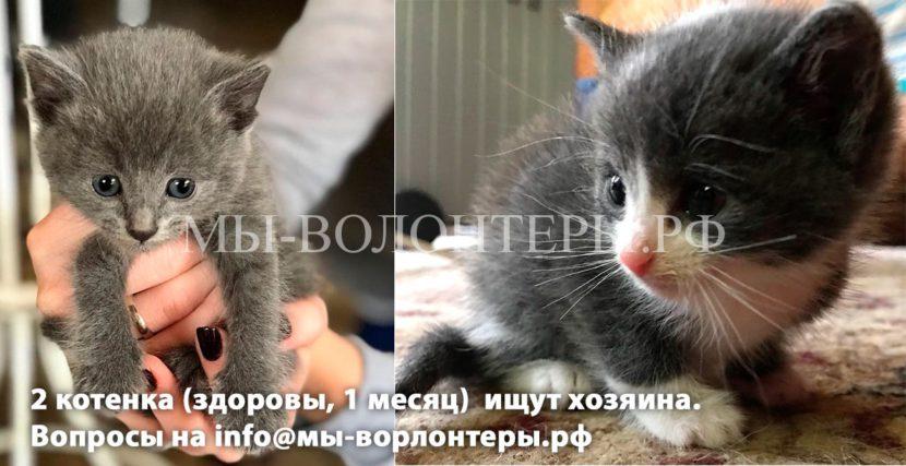 Два серых котенка (1 месяц, здоровы) ищут дом и добрые руки