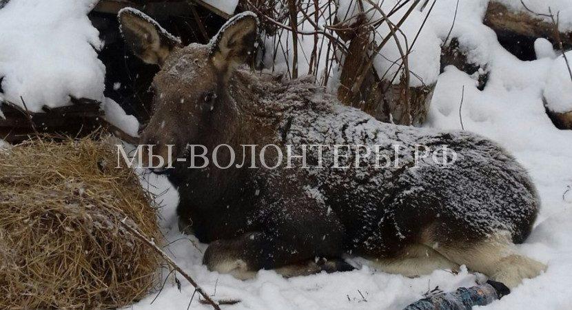 Волонтеры Кемерово спасают лосенка, подстреленного браконьерами