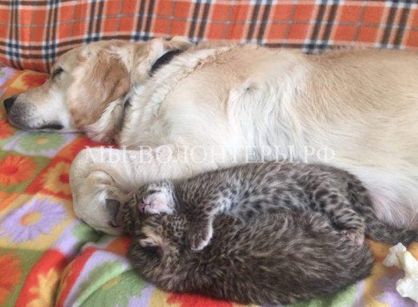 Новорожденных леопардиков выкармливает золотистый ретривер