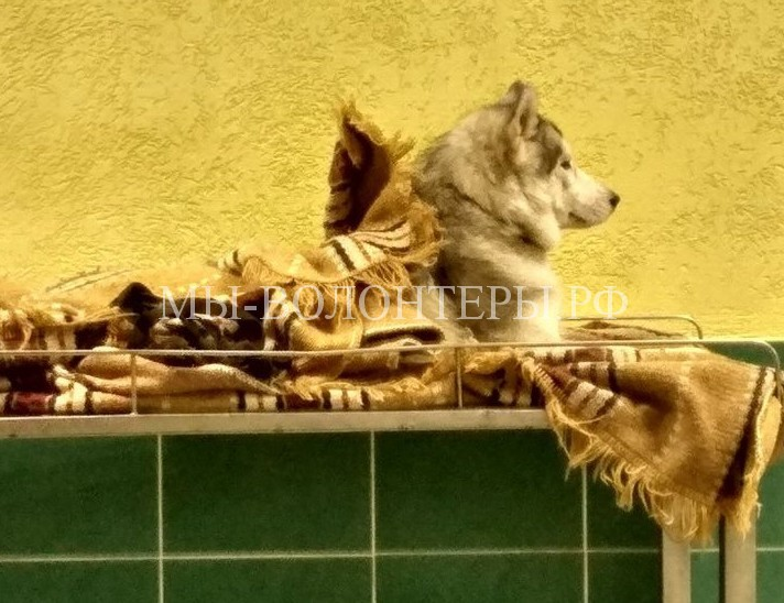 Волонтеры спасают изувеченного семимесячного щенка хаски, брошенного в ветклинике