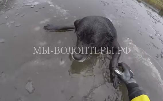 Спасение лабрадора, застрявшего во льду