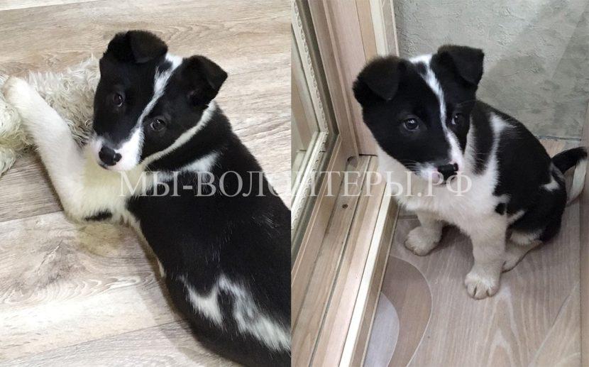 Щенок-девочка черно-белый окрас, из г. Н.Новгород ищет дом !