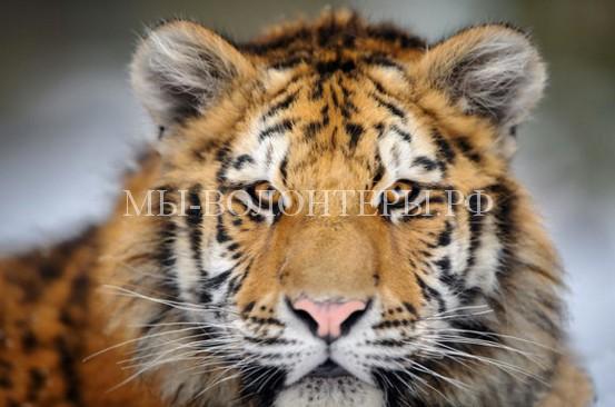 Ослабленная тигрица пришла из тайги к людям за помощью
