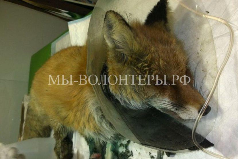 Спасение лисицы, попавшей в капкан и лишившейся лап