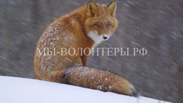 Уменьшение количества бездомных собак в Москве привело к появлению лис в городе