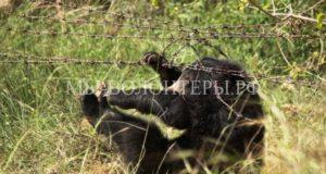 Спасение медвежонка, запутавшегося в колючей проволоке