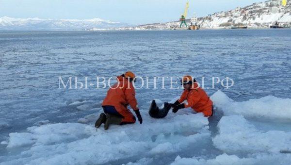 Спасатели освободили нерпу, застрявшую во льдах