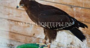 Петербуржцы помогли спасти двух редких хищных птиц