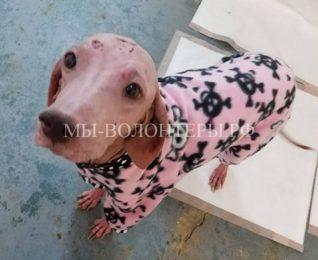 Найденная в пустыне собака без шерсти вылечилась и совершенно преобразилась
