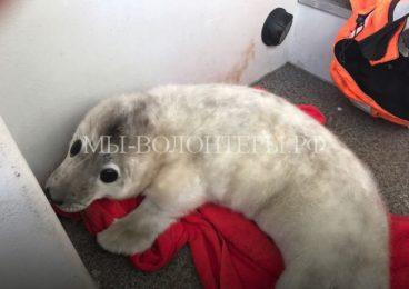 Тюлененка, потерявшего маму,доставили в Центр реабилитацииморских млекопитающих