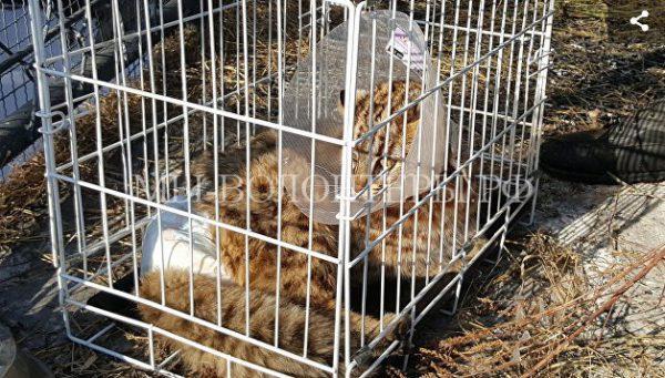 Спасение раненого дальневосточного лесного кота