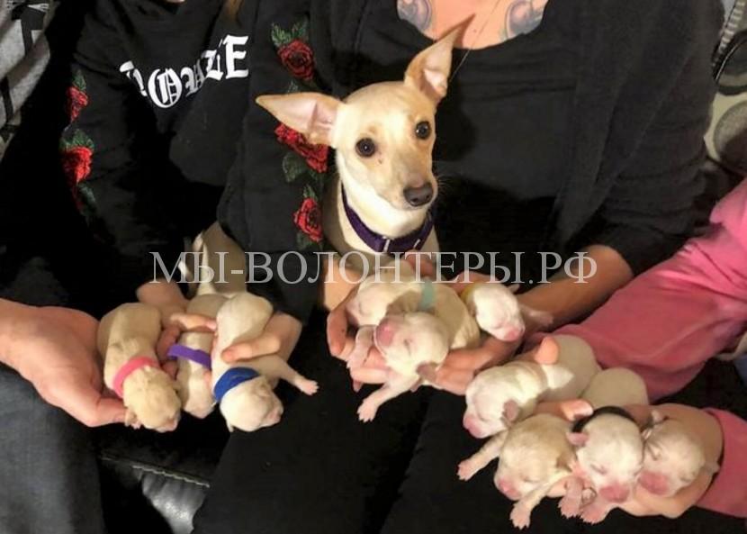 Бездомная чихуахуа, которую хозяева сдали в приют, родила 11 щенков