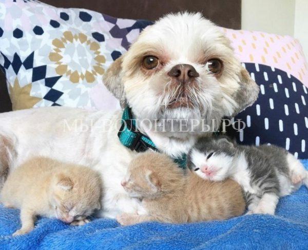 Пес Мун заменил приемную маму уже 74-м приютским котятам