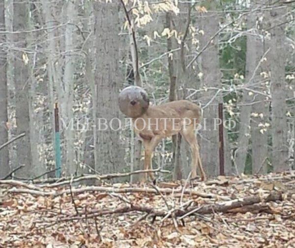 Помощь олененку, у которого голова застряла в плафоне уличного фонаря