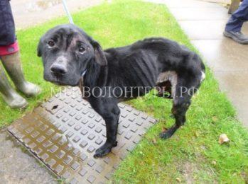 Прохожие спасли брошенную собаку в крайне истощенном состоянии