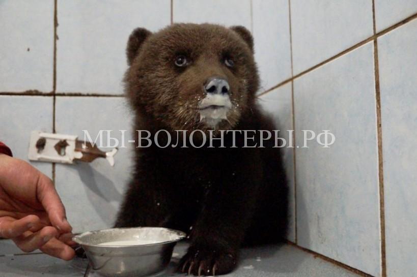 Спасение раненого медвежонка