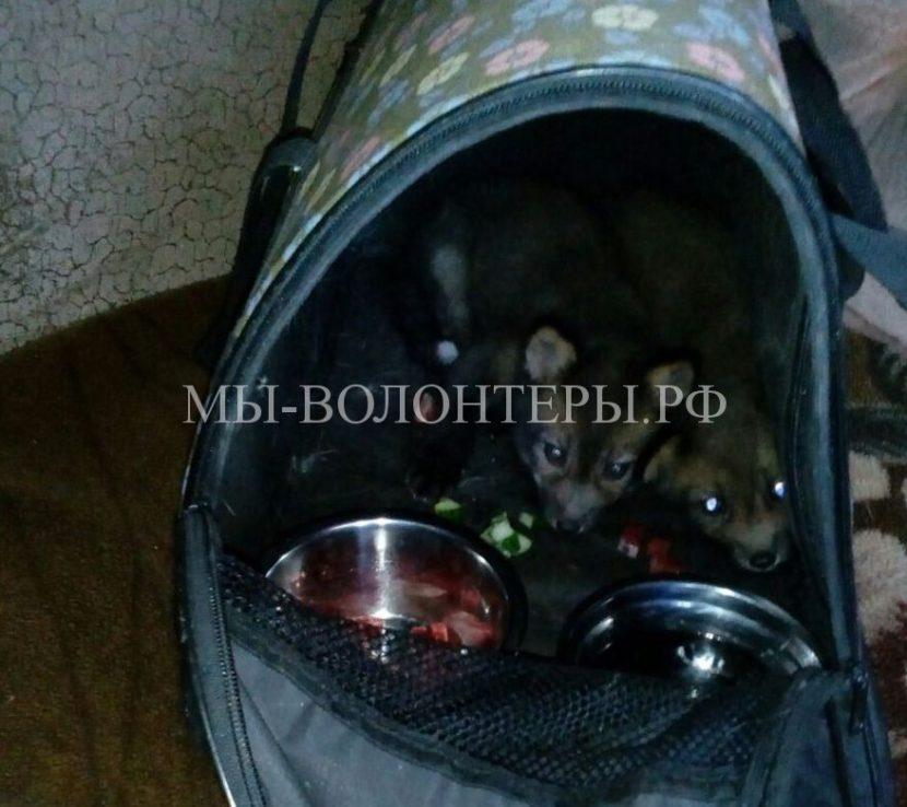 Жительница Южно-Сахалинска выхаживает выброшенных на помойку новорожденных лисят
