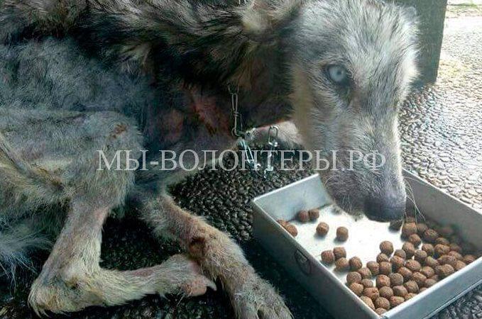 Парень спас умирающую бездомную собаку, а через несколько месяцев оказалось, что это красивая хаски