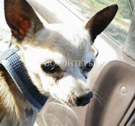 Как женщина спасла потерявшуюся слепую собаку