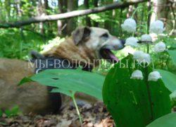 Приют Щербинка: майские прогулки  с нашими подопечными и .. ландыши..