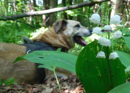 Весенние прогулки с подопечными в приюте Щербинка, ландыши в лесу