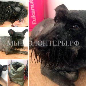 Волонтер М.Трофимова (проф. грумер) помогает собакам приюта Щербинка - Гала после стрижки