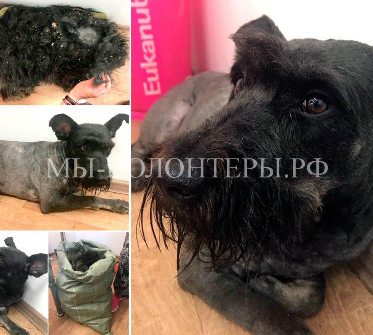 Волонтер М.Трофимова (проф. грумер) помогает собакам приюта Щербинка — Гала после стрижки