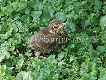 Экологи просят жителей не подбирать птенцов, выпавших из гнезда