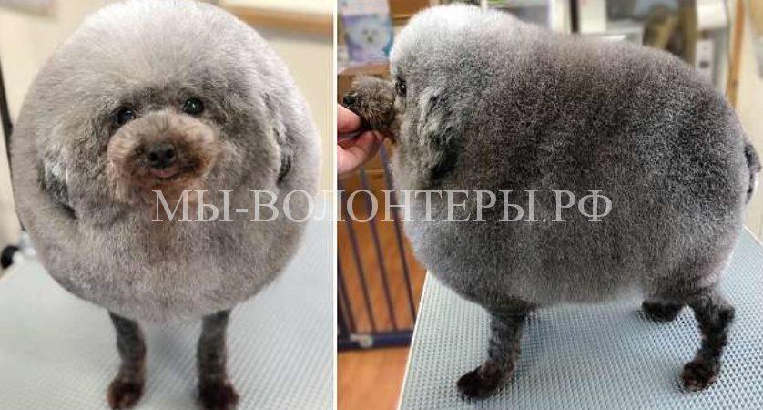 Грумер из Японии стрижет собак и превращает их в «облачко на ножках»
