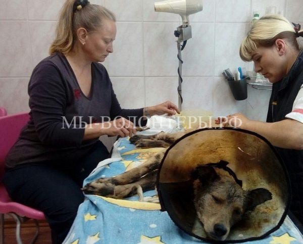 Жители Пскова спасли трех собак,которых неизвестные связали и залили гудроном