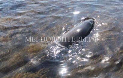 Жители Сахалина спасли дельфиненка, выброшенного на мель