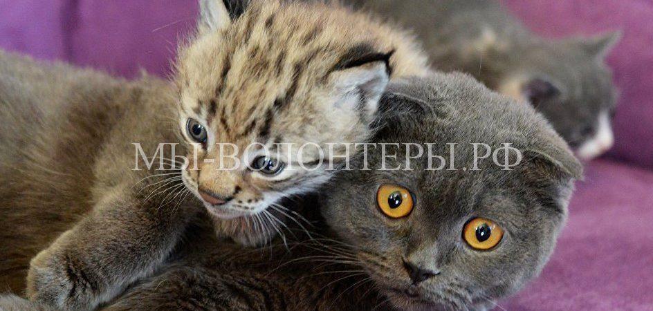 Кошка выкормила и взяла на воспитание рысенка в Уссурийском зоопарке