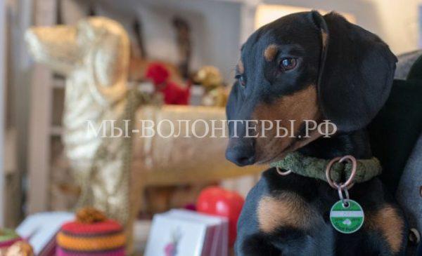 Музей, полностью посвященный собакам породы такса