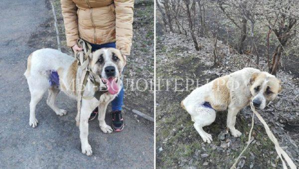 Омские волонтеры спасли умирающую от голода и рака собаку