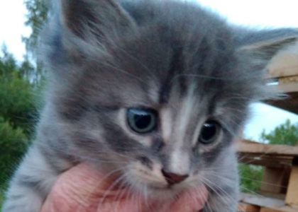 Котенок мальчик ищет дом, 1.5 месяца, привит