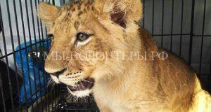 Львенок, обнаруженный на складе в Бирюлево, отправляется в свой новый дом