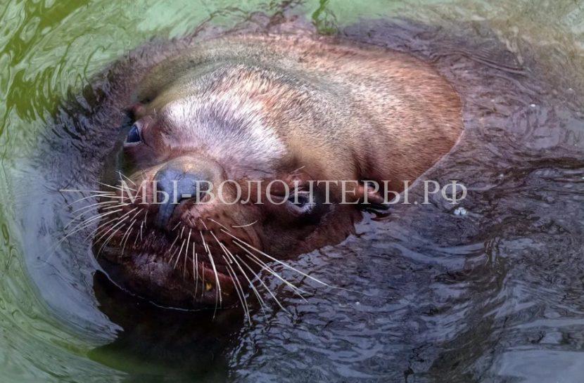 Рыбаки на Сахалине спасли сивуча, запутавшегося в старых рыболовных сетях