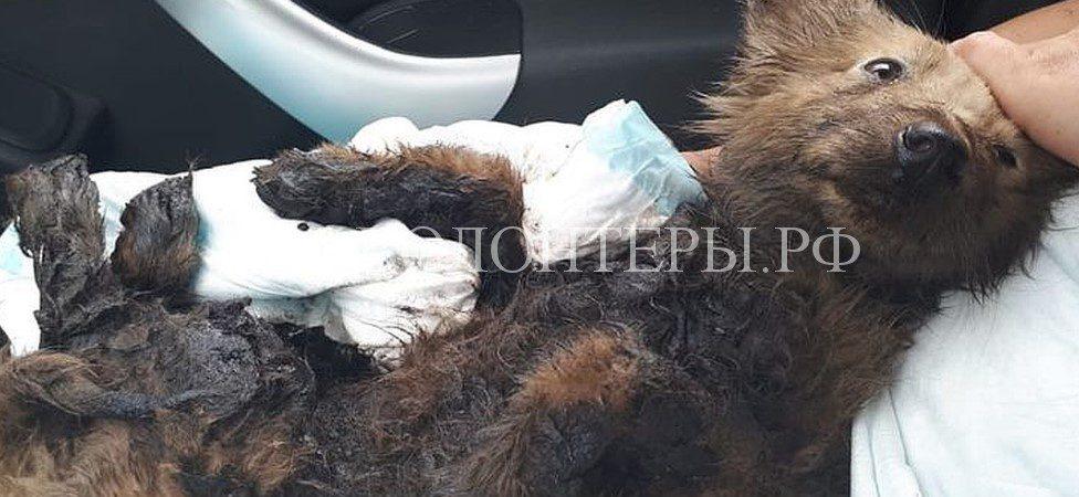 Новосибирские волонтеры спасают двухмесячного щенка, застрявшего в гудроне