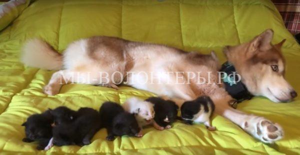 Хаски спасла котят, выброшенных в лесу в заклеенной коробке