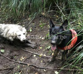Тино родился в приюте, стал служебной собакой и спас собрата из трясины