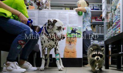 Енот Еша принимает животных в ветклинике, развлекает клиентов, наблюдает за операциями и повышает посещаемость клиники