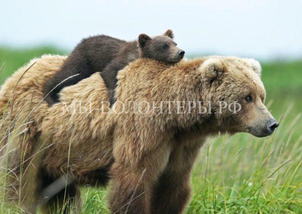 В Подмосковье растет популяция бурого медведя