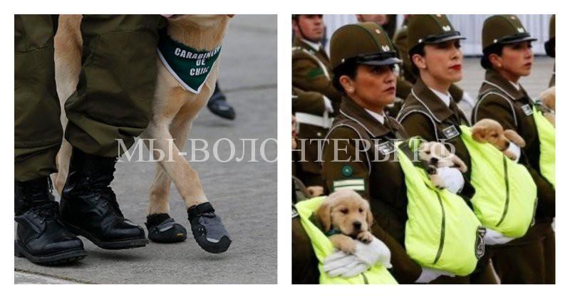 На военном параде в Чили в торжественном строю шли лабрадоры, ретриверы и щенки в специальных сумках